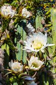 image of rare flowers  - Bees gathering pollen from rare flower on night blooming cereus cactus - JPG