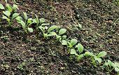 Young Radish Seedlings