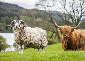 pic of incredible  - Incredible scottish cattle and sheep  - JPG