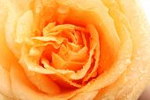 Beautiful orange rose close-up