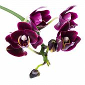 Closeup Of Blooming Beautiful Twig Of Dark-cherry Orchid, Phalaenopsis Is Isolated On White Backgrou