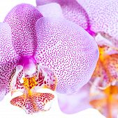 Blossoming Pointed Lilac Orchid Phalaenopsis Is Isolated On White Background, Closeup