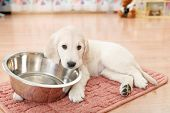 picture of golden retriever puppy  - golden retriever puppy lying down near empty feeding bowl - JPG