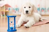 training of golden retriever puppy