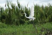 Flying Amazon's Egret