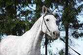 foto of bridle  - Gray latvian breed horse portrait with black bridle
