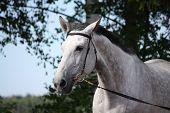Gray Horse Portrait