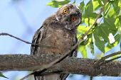 stock photo of ear  - funny bird on branch long eared owl ( Asio otus )