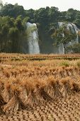 Straw In Rice Field Front Of Ban Gioc Waterfall In Vietnam.