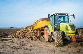 foto of dumper  - A yellow dumper pulled by a tractor dumps sugar beets on a heap beside the field awaiting transport to the sugar factory - JPG