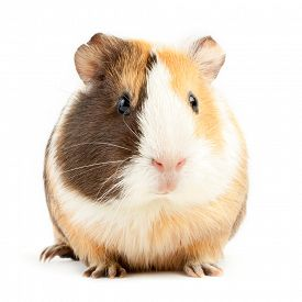 image of gerbil  - brown guinea pig on white isolated  - JPG