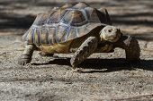 image of spurs  - African spurred tortoise sprinting on the desert floor in southern California - JPG