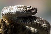 stock photo of partition  - close up of a western diamond-backed rattlesnake (crotalus atrox) photo taken thru a glass partition in a zoo ** Note: Soft Focus at 100%, best at smaller sizes - JPG