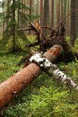 picture of fallen  - Tree fallen in the forest twisted roots - JPG