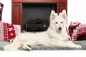 image of shepherds  - White Swiss shepherd dog posing near fireplace - JPG