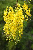 picture of vishu  - Flower of golden shower tree on white background - JPG