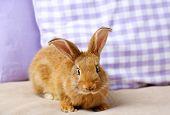 image of dwarf rabbit  - Cute rabbit on sofa - JPG