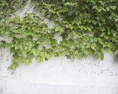 pic of ivy vine  - ivy leaves isolated on a white background - JPG