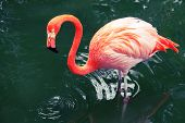 pic of pink flamingos  - Pink flamingo walking in the water with reflections - JPG