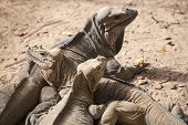 stock photo of monitor lizard  - Group of Rhinoceros Iguanas lizards in the family Iguanidae Dominican Republic photo with selective focus and shallow DOF - JPG