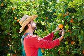 stock photo of orange-tree  - Farmer man harvesting oranges in an orange tree field - JPG