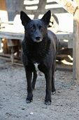 stock photo of stray dog  - Black stray dog from the shelter with a sad look
