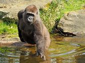 stock photo of gorilla  - Porrtait of a female gorilla in the water - JPG