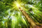 stock photo of mood  - Magical mood in a fresh green forest with the sun shining through a big beech tree - JPG