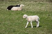 pic of counting sheep  - Sheep and lambs grazing on a green pasture - JPG
