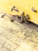 pic of honey bee hive  - Honey bees are flying in and out of an yellow hive gathering pollen for honey - JPG