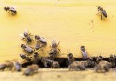picture of honey bee hive  - Honey bees are flying in and out of an yellow hive gathering pollen for honey - JPG
