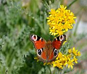 pic of loam  - Closeup view of a colorful butterfly on yellow plants - JPG