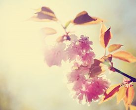 picture of yellow buds  - a cherry or ornamental fruit tree blossoming with flowers and buds on a bright sunny day  - JPG
