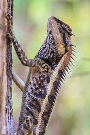 stock photo of lizards  - Greater spiny lizard - JPG