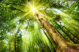 picture of greenery  - Magical mood in a fresh green forest with the sun shining through a big beech tree - JPG
