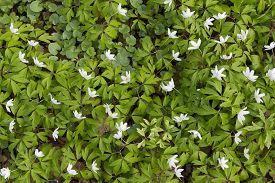 foto of windflowers  - top view of carpet of white windflower background - JPG
