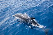 stock photo of mater  - one young dolphin jumping near the boat - JPG
