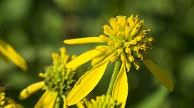 stock photo of wildflowers  - Common Wingstem Bloom Close - JPG