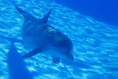stock photo of cetacea  - Bottlenose dolphin swimming by in an aquarium - JPG