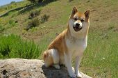 Shiba Inu looking on!