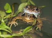 Common Frogs In Amplexus 01