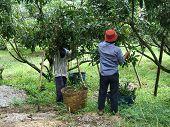 Plantação de longan