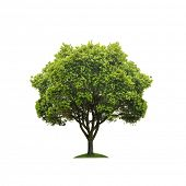 Grüner Baum, isolated on white