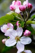 stock photo of apple blossom  - Apple blossoms in early spring - JPG