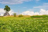 Potatoes blossoming on Russian traditional dacha