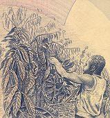 UGANDA - ZIRKA 1983: Kaffee Ernte auf 500 Schilling 1983 Banknote aus Uganda.