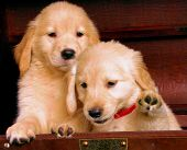 stock photo of golden retriever puppy  - two golden retriever puppies - JPG