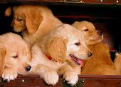 Golden Retriever Pile