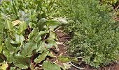 beetroot and carrots growing in rows in the vegetable garden