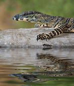 a goanna is walking along a log across the water